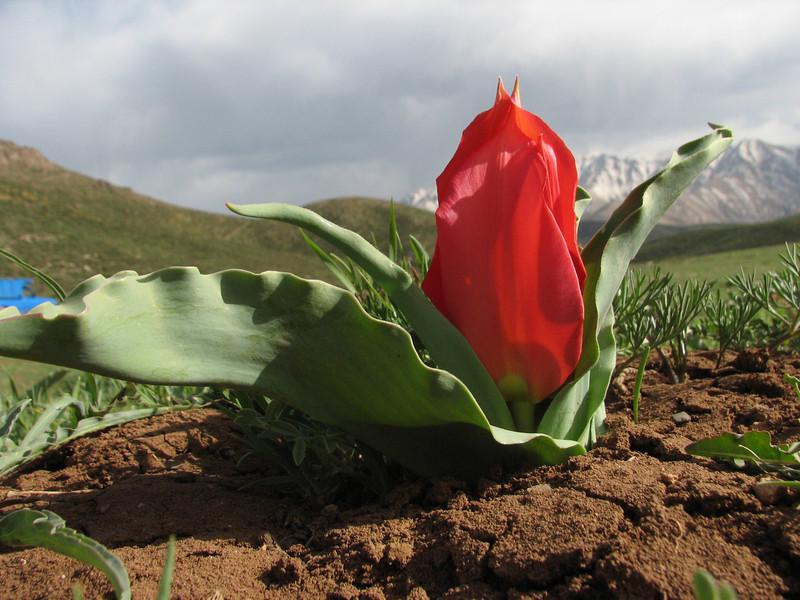 Tulipa systola,  (syn.T.stapfii)