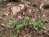 Corydalis verticillaris