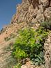 Smyrnium cordifolium