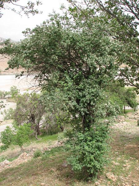 habitat of Lonicera cf. tatarica