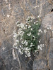 habitat of Asperula glomerata