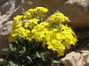 Dionysia lurorum
