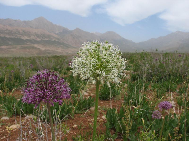 Allium stipitatum and forma Alba