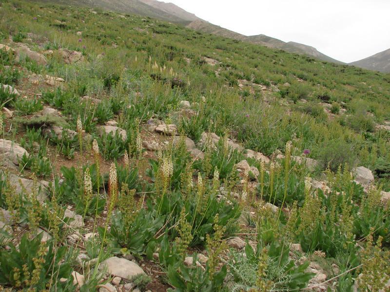 habitat of Eremurus spectabilis