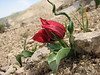 Tulipa florenskyi