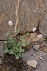 Valeriana sisymbriifolia