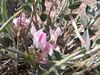 Astragalus cf. kurdicus