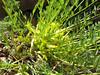 Astragalus ovinus