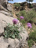 habitat of Centaurea spec