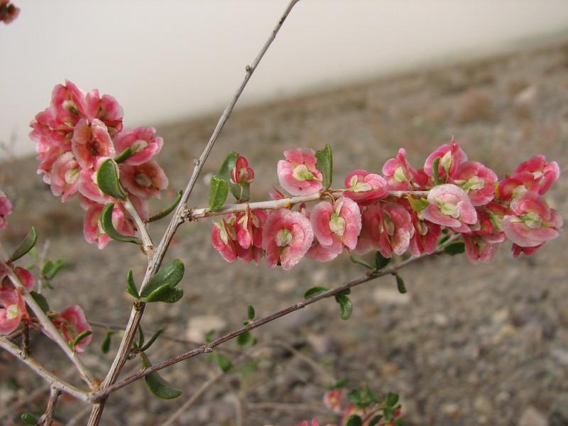 Pteropyrum olivieri