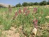 habitat of Gladiolus italicus