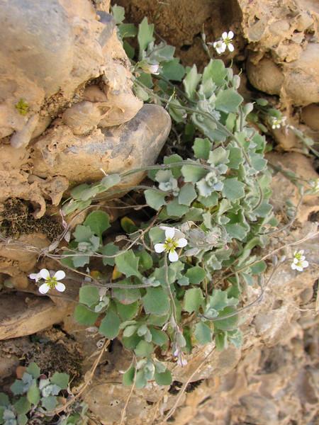 Arabis aubrietioides