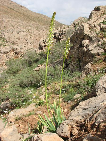 Eremurus spectabilis