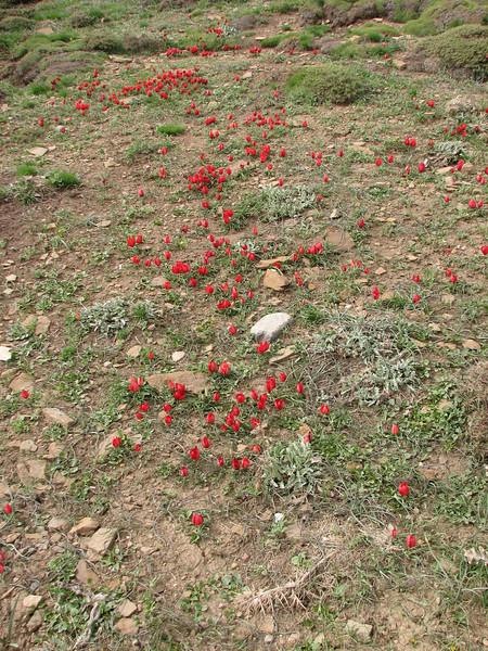 several clones of Tulipa ulophylla