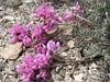 Hedysarum cf. erythroleucum
