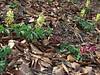 Corydalis marchalliana