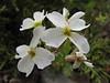 Arabis caucasica ssp. caucasica