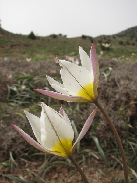 Tulipa biflora