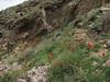 Tulipa cf montana