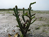 Salicornia persica subsp. iranica