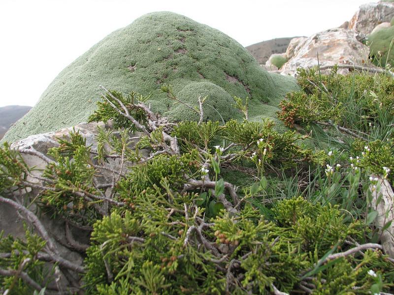 Juniperus sabina and Gypsophila aretioides