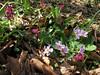 Primula vulgaris ssp. heterochroma & Corydalis marchalliana