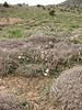habitat of Tulipa biflora