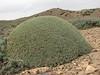thorn-cushion of Acantholimon embergeri