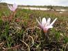 12 Colchicum raddeanum or C. szovitsii ?