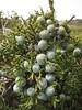 fruit of Juniperus excelsa