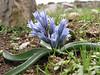 Hyacinthus transcaspicus