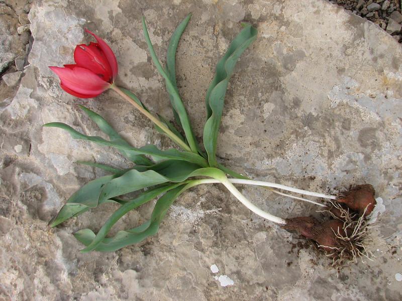 Tulipa ulophylla
