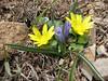 Hyacinthus transcaspicus and Ranunculus kochii