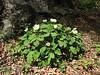 Paeonia daurica subsp. wittmanniana