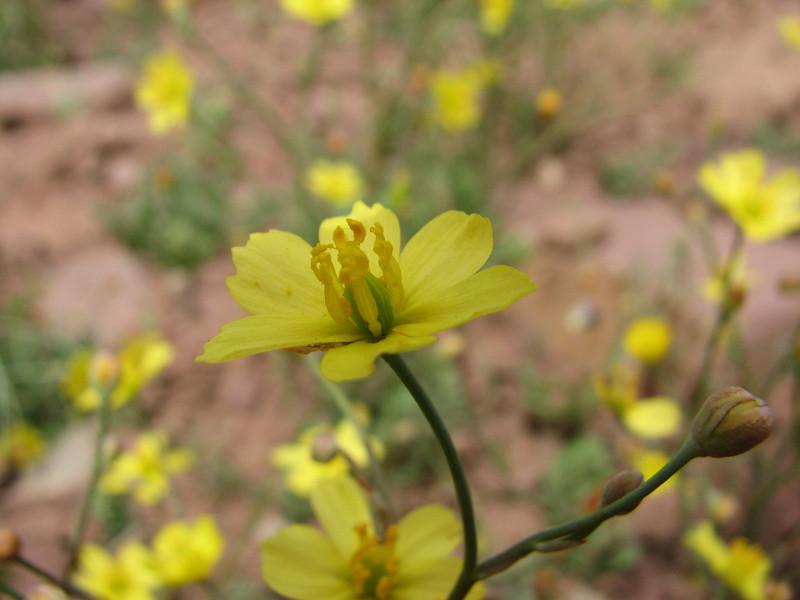 Bongardia chrysogonum