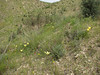 habitat of Tulipa cf montana, slender plant with narrow leaves, unnamed spec