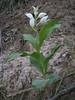 Cephalanthera caucasica