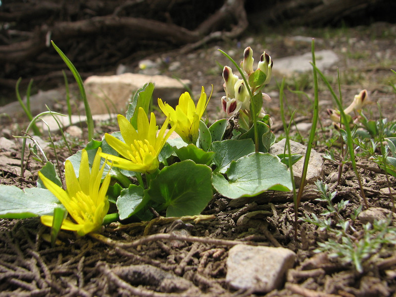 Ranunculus kochii & Corydalis chionophylla ssp. firouzii