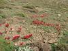 habitat of Tulipa ulophylla