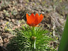 close up of Adonis microcarpa (Iran, Tehran, Elburz mountains, Saidabad - Firuzkuh 1)