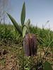 Fritillaria kotschyana ssp. grandiflora