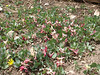 Corydalis chionophylla