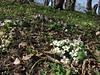 Primula vulgaris ssp. heterochroma