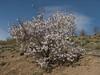 Prunus dulcis, syn. P. amygdalus, syn. Amygdalus communis (NL: amandel) (Iran, Tehran, Elburz mountains, Saidabad - Firuzkuh 1)