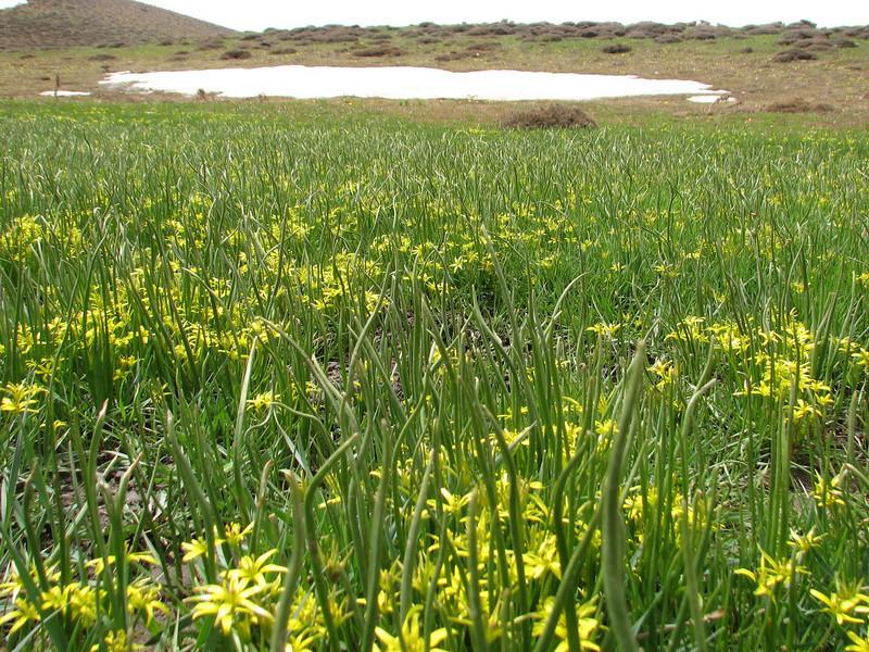 habitat of Gagea glacialis near melting snowfields