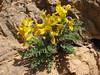 Corydalis hyrcana
