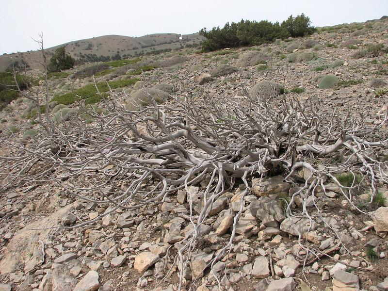 death shrub of Juniperus sabina