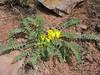 Astragalus cf. ovinus