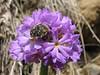Tropinota squalida on Primula auriculata