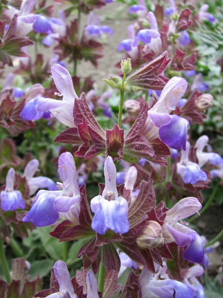 Salvia cf multicaulis